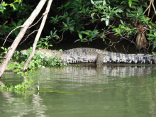 16 Krokodil am Belize River